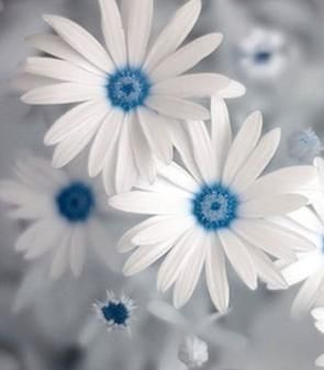 Are these real? These are my new favorite flowers! blue daisy