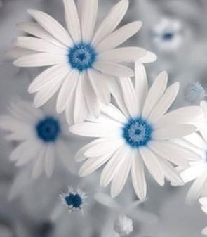 Blue Daisy                                                       …