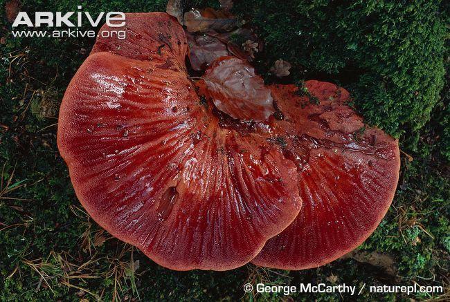 Google Image Result for http://cdn2.arkive.org/media/E7/E7E646D1-AB5D-4DD2-AEBE-69D1E08A0F9A/Presentation.Large/Beefsteak-fungus-fruiting-bodies.jpg