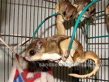 Flying Squirrel Care Sheet
