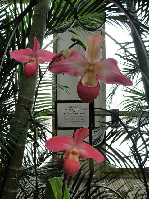 Phragmipedium Orchid