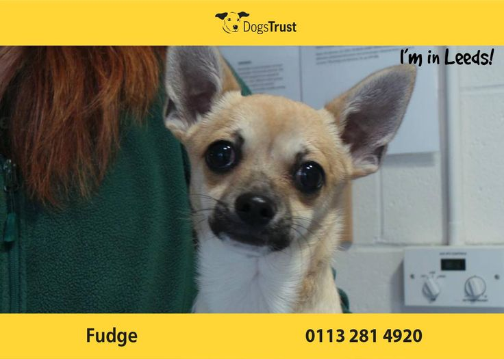 Fudge at Dogs Trust Leeds is a gorgeous little guy who lacks in confidence. He is worried by new people or dogs and can be quite vocal. Fudge will need further work on his socialising and also house training. He will need to be the only dog in the home.