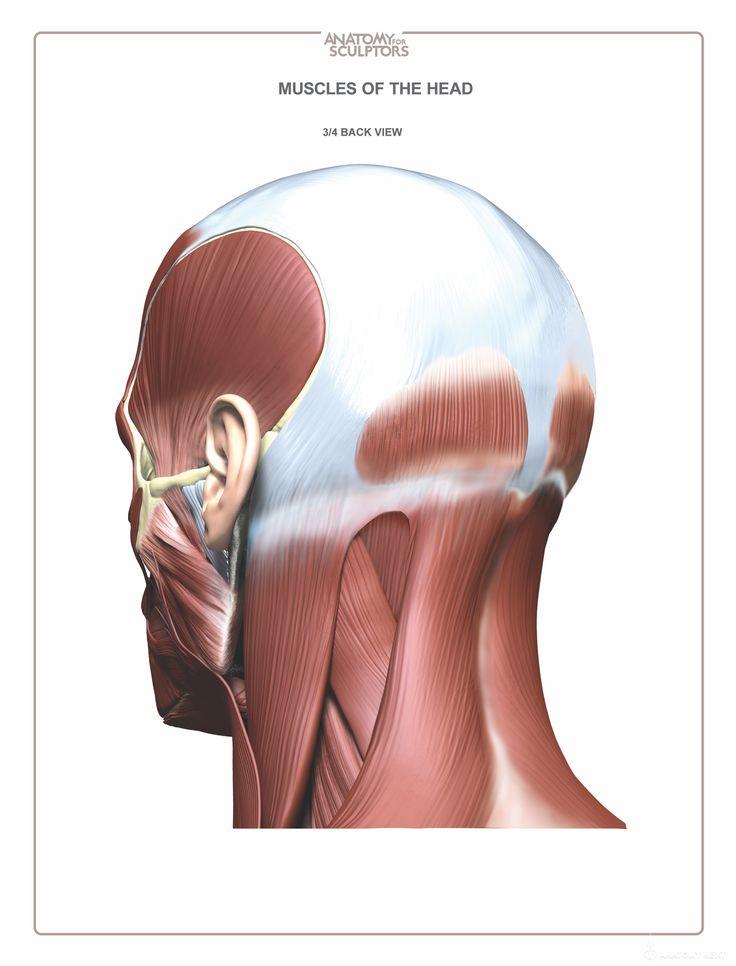 14 best Anatomy images on Pinterest | Human anatomy, Anatomy ...