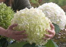 Hydrangea arb. Incrediball® Strong Annabelle®  Bloemen: Grote bolvormige witte bloemen  Afmeting: 100 cm hoog 100 cm breed  Bloeiperiode: 6-9  Winterhardheid: Zeer winterhard  Plantadvies:  De plant kan zon en schaduw staan. Snoeien in maart om een goed vertakte struik te krijgen. Na enkele jaren in de tuin worden de bloemen groter en stelen dikker.  Speciaal:  Incrediball® is de eerste arborescens variëteit met mooie stevige takken. Het is een sieraad voor iedere tuin zelfs na regen en…
