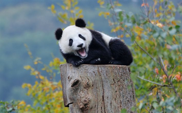 Hämta bilder pandor, träd, söta djur, liten panda, zoo, Ailuropoda