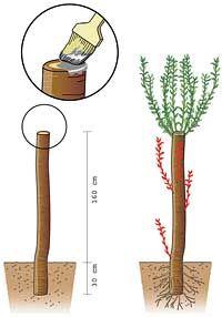 Kopfweiden vermehren Weidenstecken
