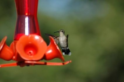 How to Freeze Hummingbird Food in ice trays.  Nice to always have it on hand to help keep feeders fresh.  you can also use it as butterfly nectar, it's the same recipe.