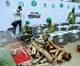 Viet Nam destroys more than two tons of confiscated ivory & rhino horn ahead of the Ha Noi Conference on Illegal Wildlife Trade : Humane Society International