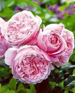 Znalezione obrazy dla zapytania róża angielska