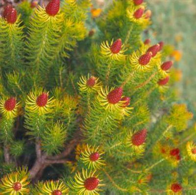 Leucadendron teretifolium • Australian Native Plants Nursery • Plants • 800.701.6517