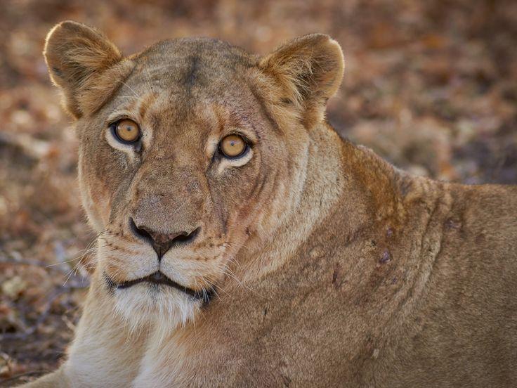 Lioness - Image taken At Kapama Game Reserve near Kruger National Park