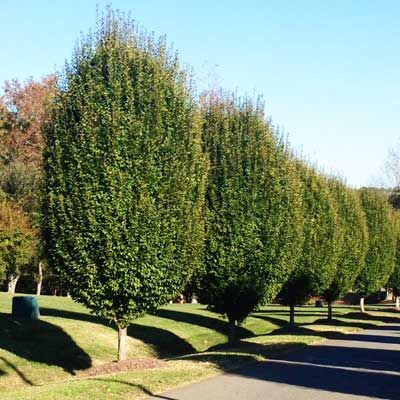 Lombardy Poplar Tree - grows 6 feet per year