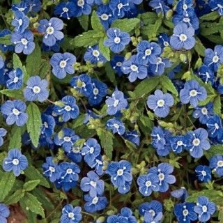Georgia Blue Veronica full sun to part shade plant blooms mid spring/early summer