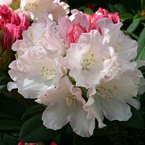 Rhododendron 'Dreamland' 7.5L: Position: Sun / ShadeSoil: Fertile acidic moist well-drained and humus richFlowering Period:May / JunePot Size: 7.5 Lit
