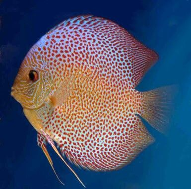 Penang eruption discus sympysodon discus the most for Live discus fish for sale