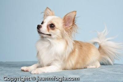 Pixels-n-Pen: Chihuahua Puppy Shoot!
