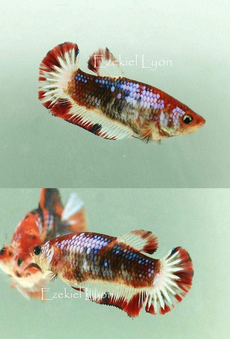 161 best bettas images on Pinterest | Exotic fish, Aquarium fish and ...