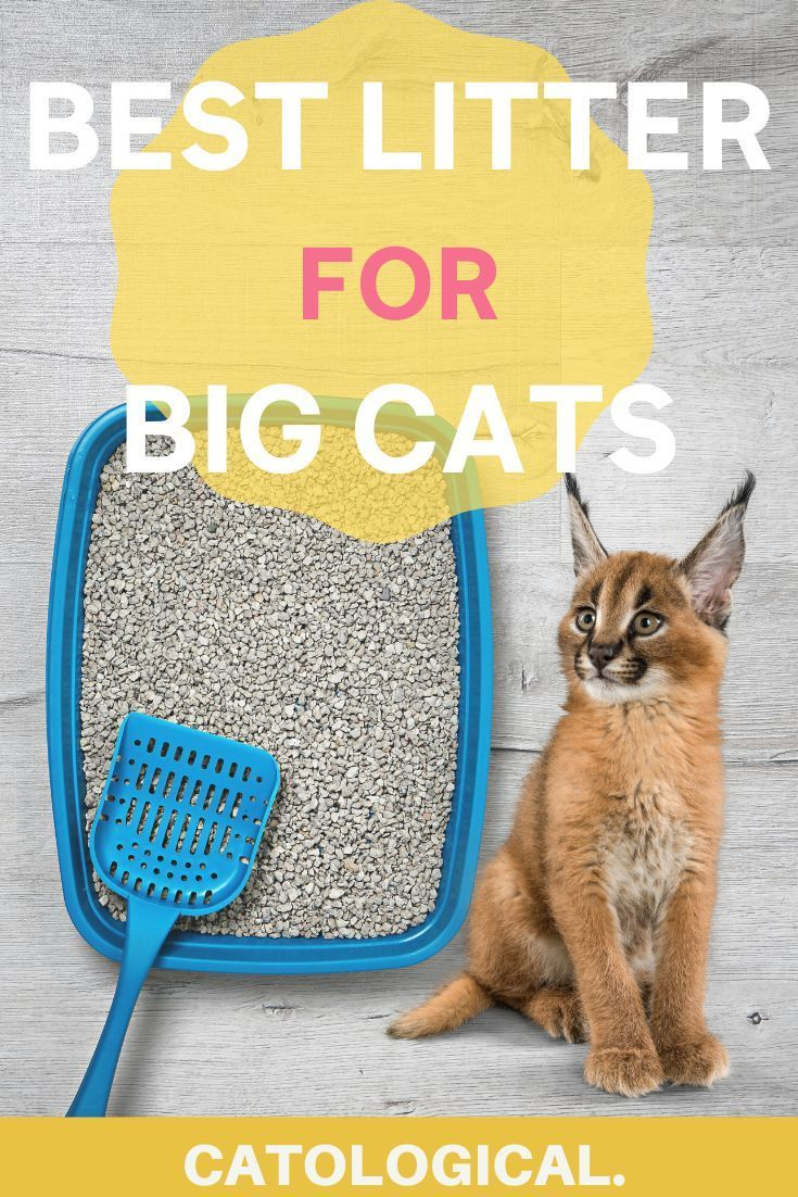 The Best Big Cat Litter Boxes For Large Cats Reviews And Ratings For 2020 In 2020 Best Cat Litter Cat Litter Box Cat Litter