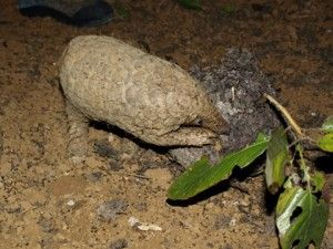 Pangolins' insatiable appetite for insects gives them an important role in their ecosystem: pest control. Estimates indicate that one adult ...