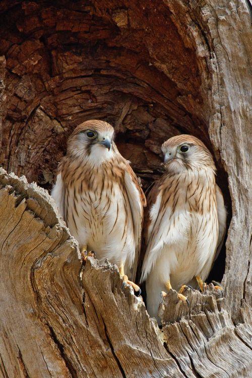 Nankeen Kestrels--juveniles