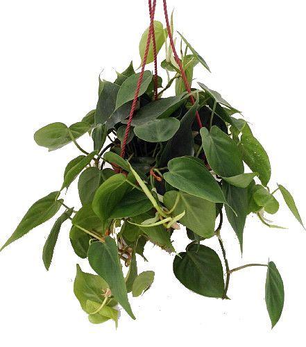 26 best easy care houseplants images on pinterest for Easy maintenance house plants