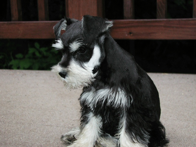 5575 best Schnauzer Pictures images on Pinterest  Schnauzers