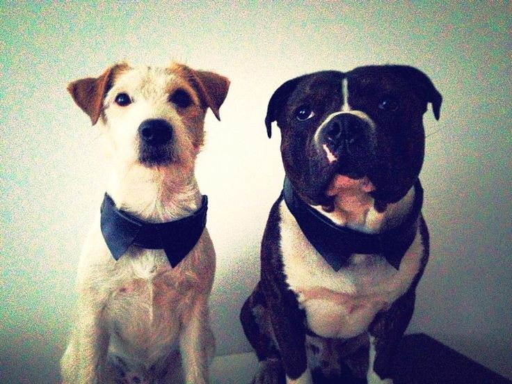 "What a handsome models MINJI have ;) Jack Russell parson (Akiinas Big Boss) and staffy ""Jäpä"" 1,5 years old ;) #dogmodel #dog #model #staffy #jackrussell #collars"