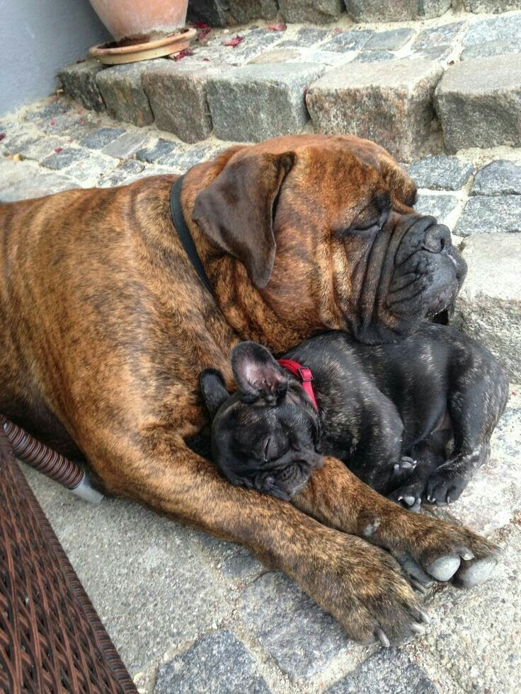 A Great Mastiff protects a Sleeping French Bulldog Puppy