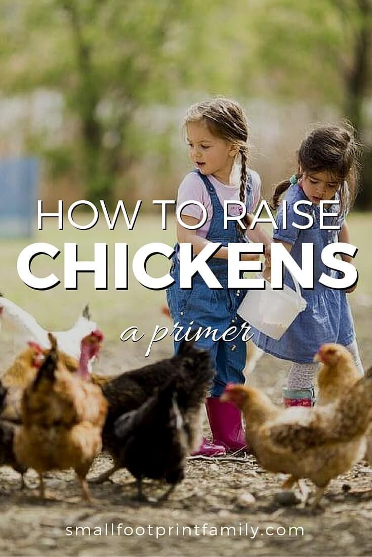 Raising chickens takes time and effort, but it is indeed an undeniably satisfying hobby. Here's a little about what to expect...  #garden #gardening #organicgarden #permaculture #homesteading #urbangarden #backyardchickens #chickens