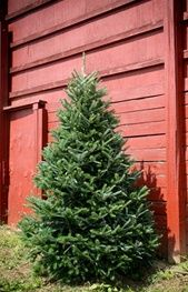 Best 25+ Fraser fir ideas on Pinterest | Christmas staircase ...