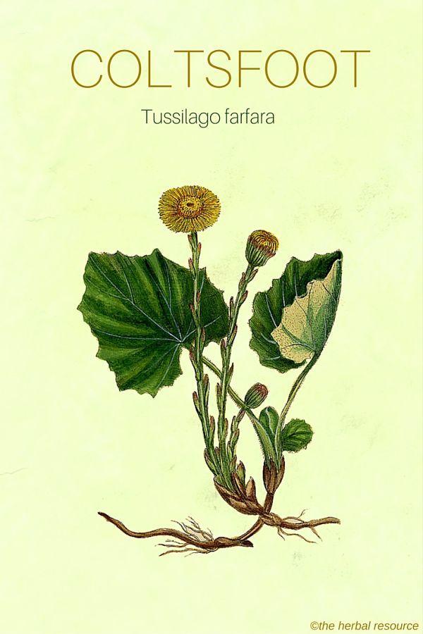 The Herb Coltsfoot (Tussilago farfara)