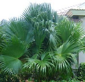 Beautiful Chinese Fan Palm Tree