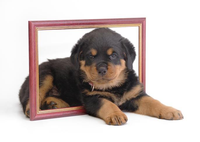 German Rottweiler Breeders, Rottweiler Puppies - Rotts Vom Das Zehrs - Auburn, in