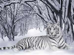 winter tiger: White Tigers, Wild Animal, Bengal Tigers, Big Cats, Snow Tigers, Beauty Animal, Siberian Tigers, Animal Wallpapers, Snow Leopard