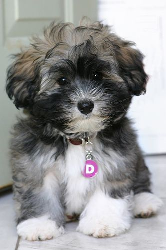 Havanese puppy = ADORABLE! Looks like my sweet Ivy Doodles!