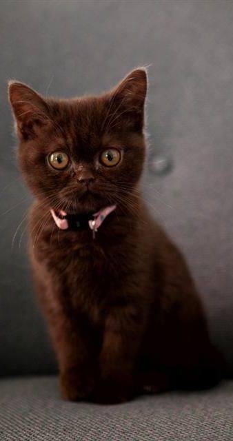 My brown kitten looks like this..His name is COCO and he is so cute <3