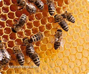 Honey bees' propolis to treat aluminum toxicity - HEDTA helped restore the cells... Propolis was even more effective and helped mitigate oxidative stress. When both... liver, kidney and brain functions showed drastic improvements... One of the most important turnarounds was in the... activity of the forebrain, midbrain and hindbrain... reduced by aluminum toxicity. Propolis helped reawaken the brain, restoring nervous system tissues.