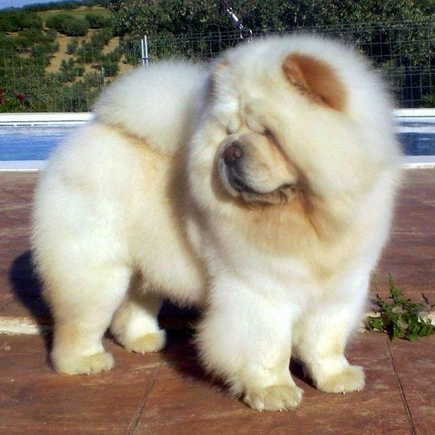 One Of God S Beautiful Canine S The Chow Chow Chows Come In Six