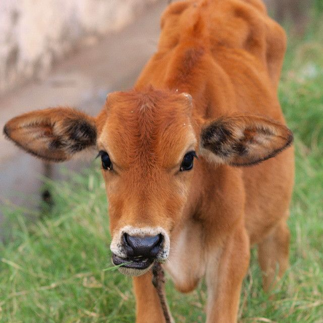 Brown baby cows - photo#1