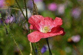 Rosa, Mohn, Blüte, Blume, Pink