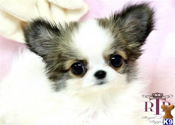 Long Haired Teacup Chihuahua Chihuahua Precious