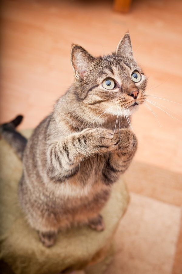 Yes, cats can be trained. Some cats even take part in agility tournaments! But you can't train your cat the same way you do your dog. Cats aren't as likely to be motivated by praise as dogs, but using yummy treats during short training sessions can do wonders.