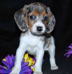 blue merle pocket beagle  - need one!