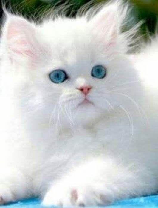 Pin By Sherri Sams On Cats Kittens Cutest Cats Kittens Cats