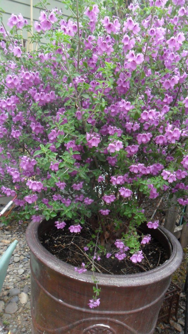 Prostanthera rotundifolia Australian Mint Bush Very fragrant!