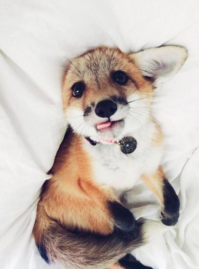 Raposas são lindas e charmosas. E existe uma pessoa que tem uma raposa de estimação e ainda mantém um Instagram com as fofuras dela.