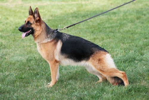 Image result for Images of short haired alsatian