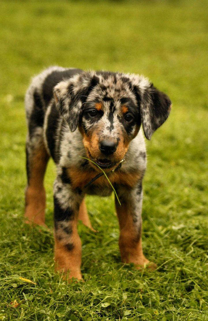 Harlequin beauceron / Beauce Shepherd / Chien Berger de Beauce #Dogs #Puppy I want