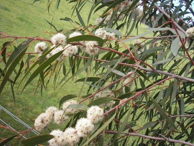 Eucalyptus Little Peppe --- For more Australian native plants visit austraflora.com
