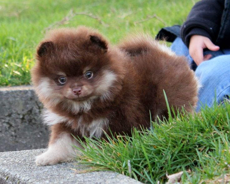pomeranian colors tan best 25 pomeranian colors ideas on pinterest teacup 1352